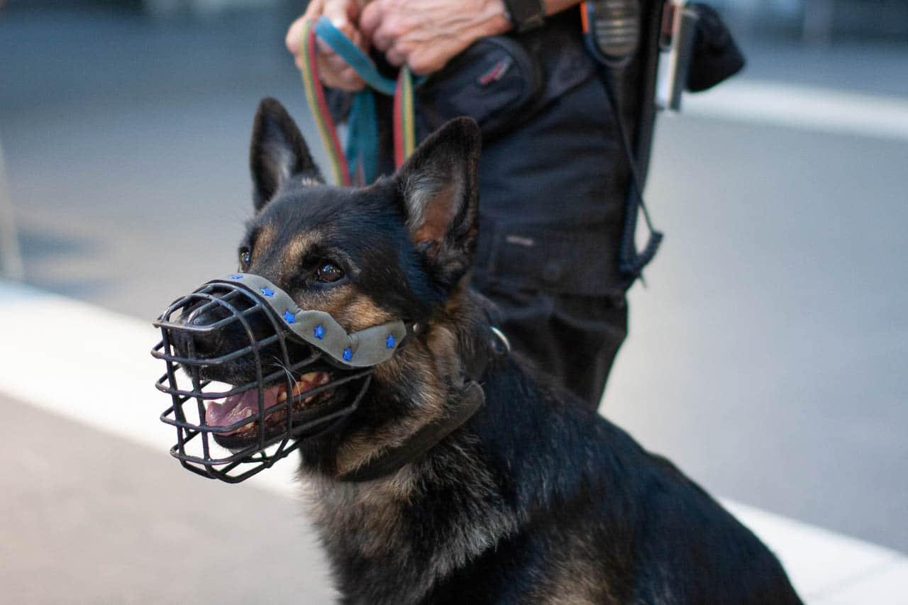Schäferhund mit Maulkorb im Dienst