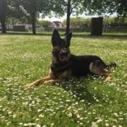 Diensthund in Wiese liegend